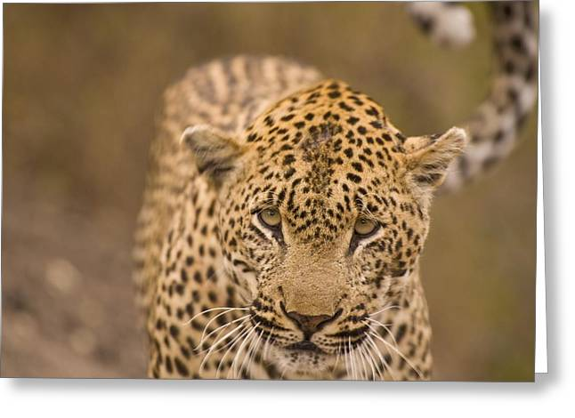 Leopard Panthera Pardus, Arathusa Greeting Card by Stuart Westmorland
