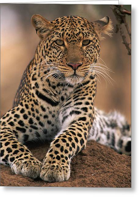 Native African Ethnicity Greeting Cards - Leopard Panthera Pardus, Masai Mara Greeting Card by Anup Shah