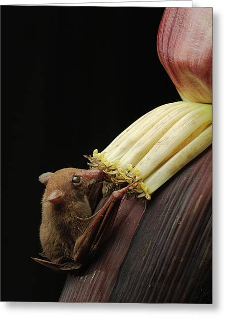 Lesser Long-tongued Fruit Bat Greeting Card by Ch'ien Lee