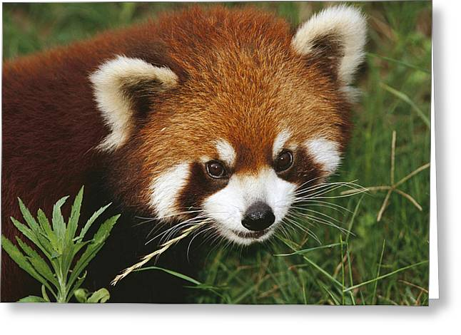 Sichuan Province Greeting Cards - Lesser Panda Portrait China Greeting Card by Mark Moffett