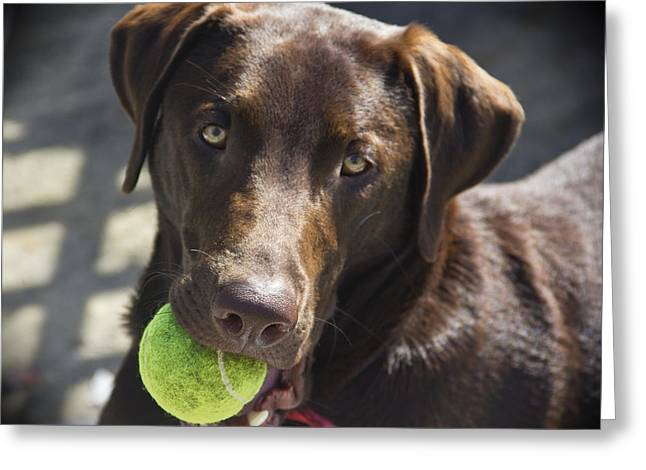 Chocolate Lab Greeting Cards - Lets Play Ball Greeting Card by Roger Wedegis