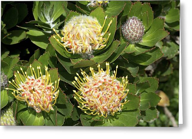 Pincushion Greeting Cards - Leucospermum Cordifolium veldt Fire Greeting Card by Bob Gibbons