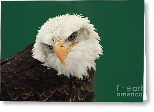 Shelley Myke Greeting Cards - Liberty- American Bald Eagle Greeting Card by Inspired Nature Photography By Shelley Myke