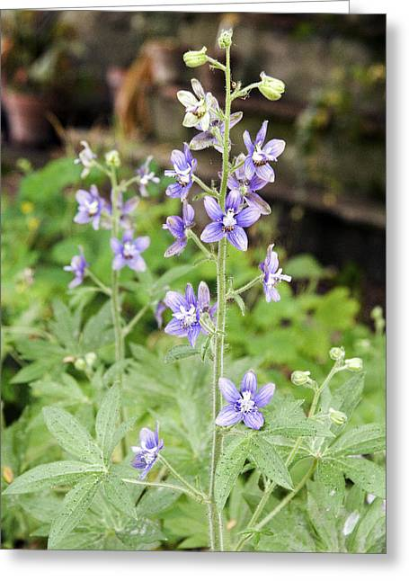 Emetic Greeting Cards - Lice Bane (delphinium Staphisagria) Greeting Card by Sheila Terry