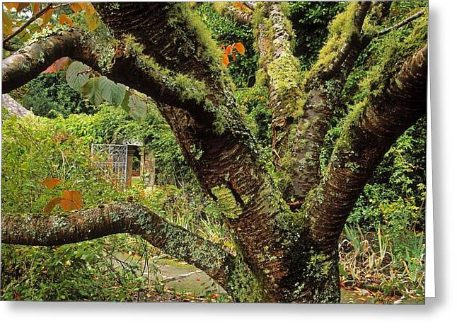Statuary Garden Greeting Cards - Lichen Covered Apple Tree, Walled Greeting Card by The Irish Image Collection