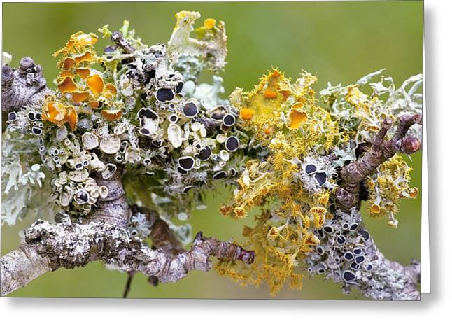 Golden Eyes Greeting Cards - Lichens On Blackthorn Greeting Card by Bob Gibbons