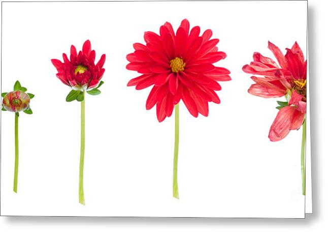 Sequence Greeting Cards - Life And Death Of A Dahlia Greeting Card by Meirion Matthias