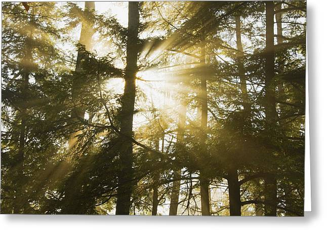 Backlit Greeting Cards - Light Beams Shining Through Trees And Fog Greeting Card by Keith Webber Jr