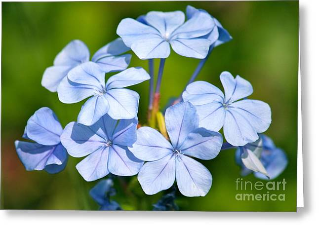 Blue And Green Photographs Greeting Cards - Light Blue Plumbago Flowers Greeting Card by Carol Groenen