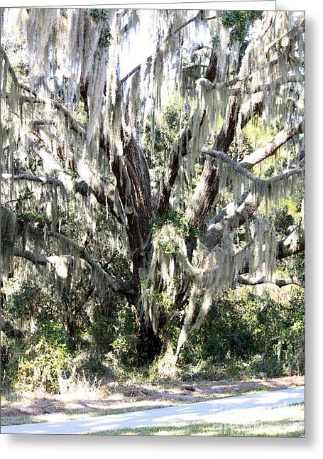 Mossy Trees Greeting Cards - Light through Mossy Oak Greeting Card by Carol Groenen