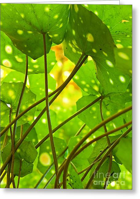 Photosynthesis Greeting Cards - Ligularia Tussilaginea Greeting Card by Carlos Caetano