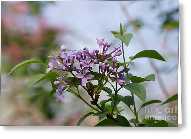 Reflections Of Infinity Llc Greeting Cards - Lilac Blossoms Greeting Card by Robert E Alter Reflections of Infinity