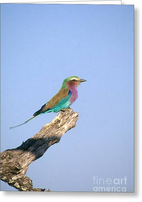 Lilac Roller Greeting Cards - Lilac-breasted Roller Greeting Card by Gregory G. Dimijian