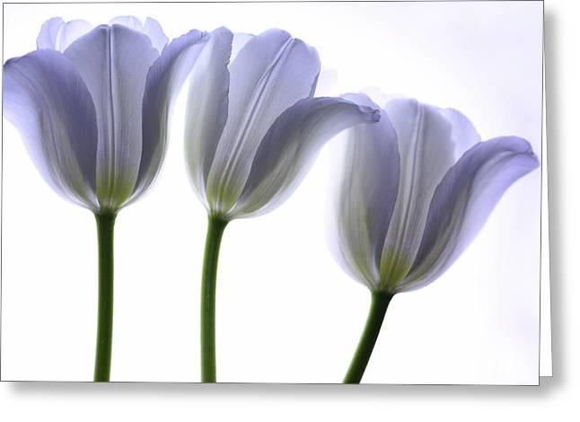 Purple Tulip Greeting Cards - Lilac Chiffon Greeting Card by Rebecca Cozart