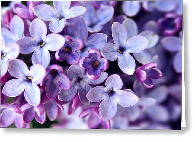 Soft Light Greeting Cards - Lilac Petals Greeting Card by The Forests Edge Photography - Diane Sandoval