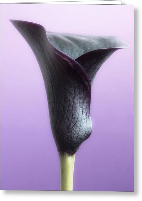 Flora Images Greeting Cards - Lilac Purple Calla Flower Greeting Card by Artecco Fine Art Photography
