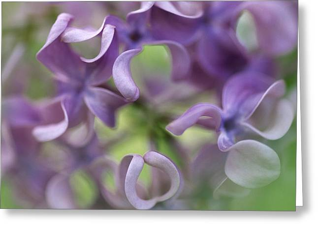 Oleaceae Greeting Cards - Lilac Syringa Sp Flower, Close Greeting Card by Jan Vermeer