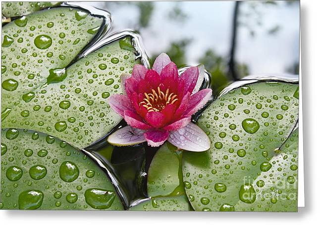Morning Dew Greeting Cards - Lilies No. 5 Greeting Card by Anne Klar
