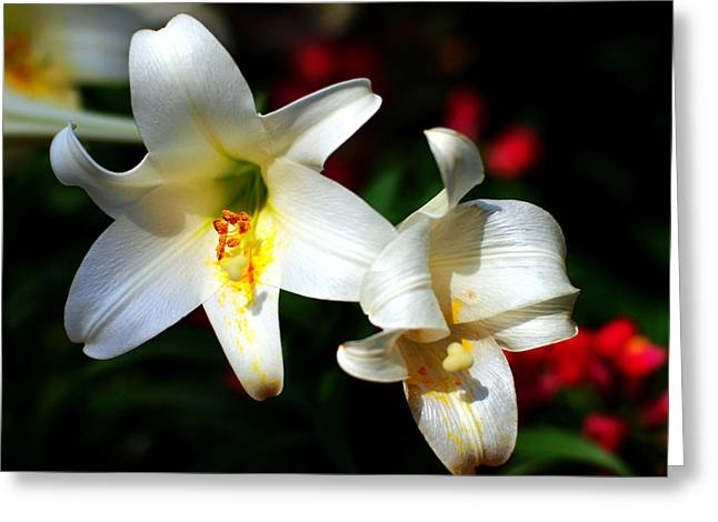 Lilium Greeting Cards - Lilium longiflorum flower Greeting Card by Paul Ge