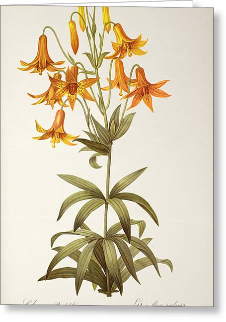 Coloured Flower Greeting Cards - Lilium Penduliflorum Greeting Card by Pierre Joseph Redoute