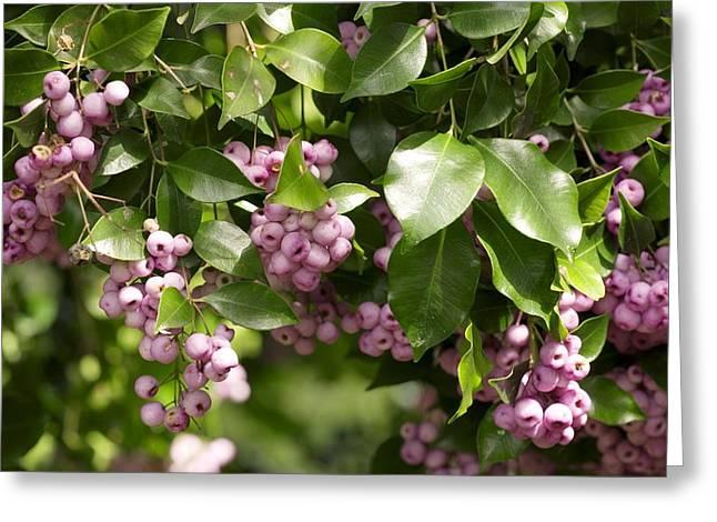 Lilli Greeting Cards - Lilli-pilli Berries (acmena Smithii) Greeting Card by Bob Gibbons