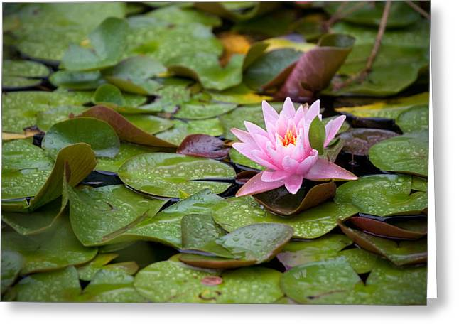 Water Lilly Greeting Cards - Lilly in the Green Greeting Card by Michel Filion