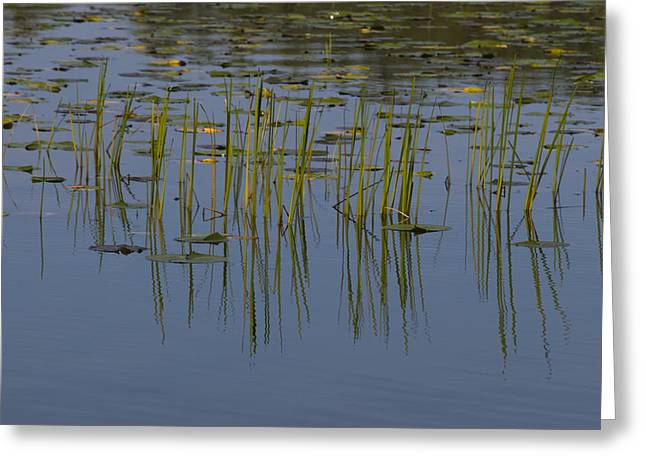 Lilly Pads Float On A River Greeting Card by Stacy Gold