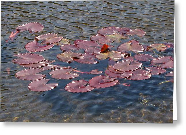 Lilly Pads Greeting Cards - Lilly Pads Greeting Card by Melissa Parks