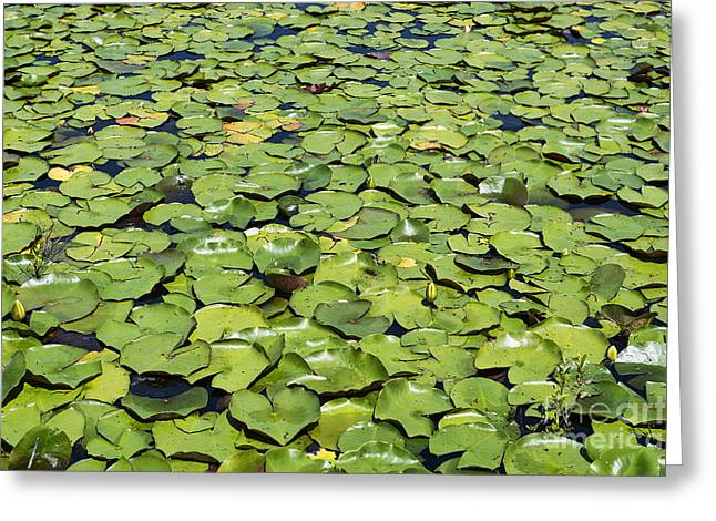 Lilly Pads Greeting Cards - Lilly Pond Greeting Card by John Greim