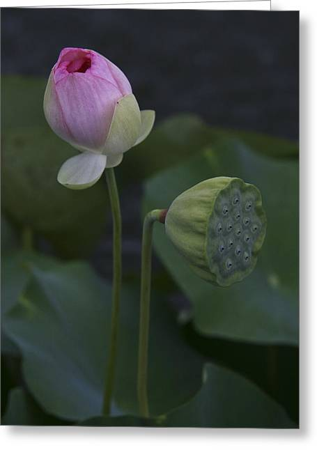 Lilies Pyrography Greeting Cards - Lily - Young and Old Greeting Card by Robert Wise