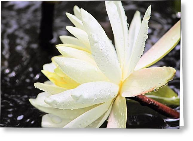 Elizabeth Budd Greeting Cards - Lily in White Greeting Card by Elizabeth Budd