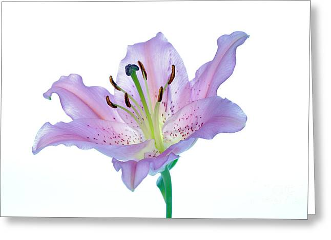 Lilium Greeting Cards - Lily (lilium Sp.) Greeting Card by Lawrence Lawry