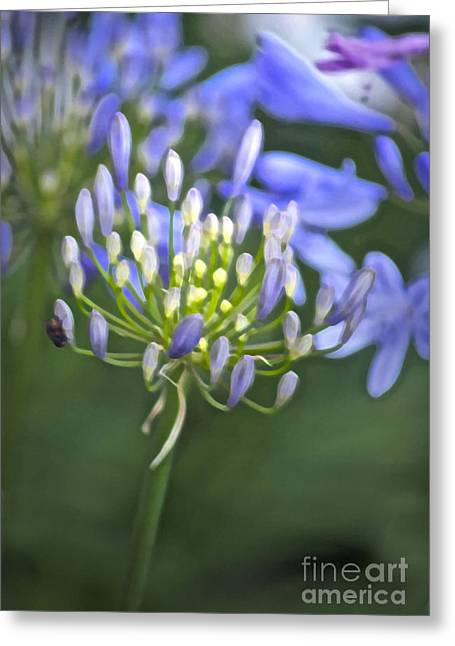 Agapanthus Greeting Cards - Lily of the Nile Greeting Card by Gwyn Newcombe