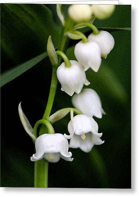 Lilies Pyrography Greeting Cards - Lily of the Valley Greeting Card by Bobbi Smith