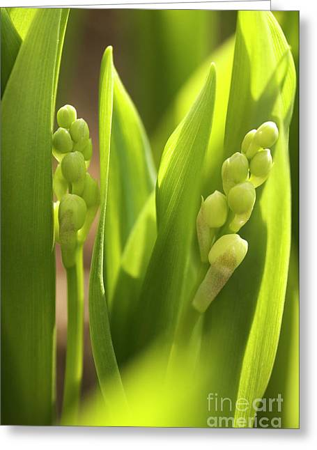 Monocotyledon Greeting Cards - Lily Of The Valley (convallaria Majalis) Greeting Card by Maria Mosolova