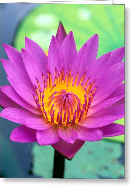 Waterlily Stamen Greeting Cards - Lily Pad Greeting Card by Bill Brennan - Printscapes