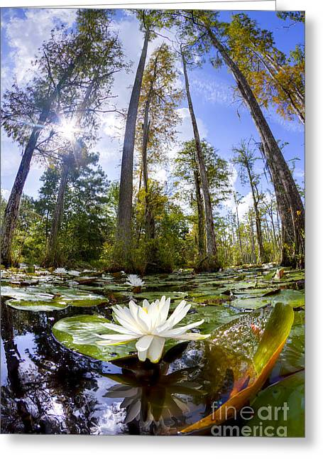 Lily Pad Greeting Cards - Lily Pad Flower in Cypress Swamp Forest Greeting Card by Dustin K Ryan