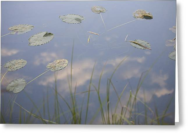 Lost Lake Greeting Cards - Lily Pads And Grasses On Still Water Greeting Card by Taylor S. Kennedy