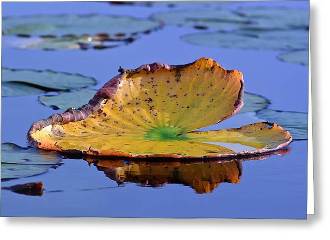 Lily Pad Greeting Cards Greeting Cards - Lily Greeting Card by Patrick M Lynch