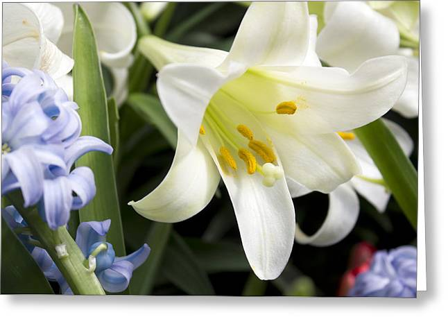 Easter Flowers Greeting Cards - Lily Splendor Greeting Card by Peter Chilelli