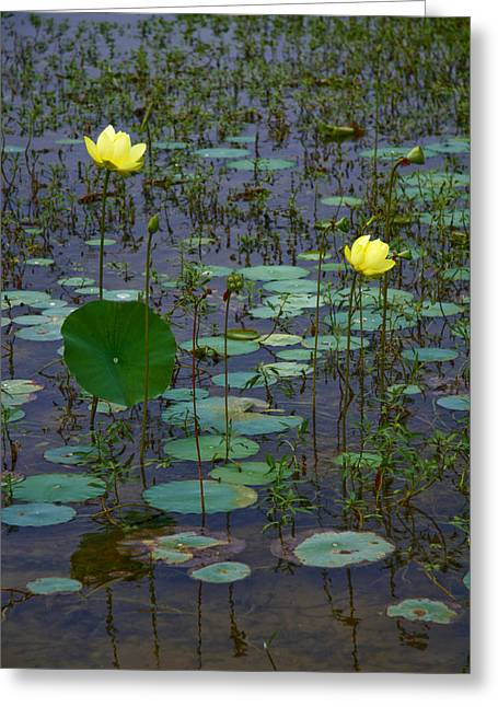 Lilly Pads Greeting Cards - Lily Greeting Card by Wendy Mogul