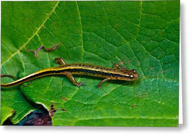 Eurycea Greeting Cards - Lined Salamander 2 Greeting Card by Douglas Barnett