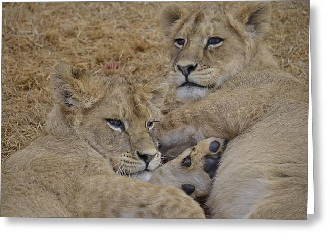 Lioness Greeting Cards - Lion 1 Greeting Card by Jason Finlay