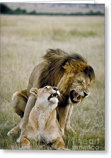 Mounting Greeting Cards - Lion And Lioness Mating Greeting Card by Greg Dimijian