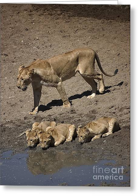 Serengeti Lioness Greeting Cards - Lion Cubs and Mom Get a Drink Greeting Card by Darcy Michaelchuk