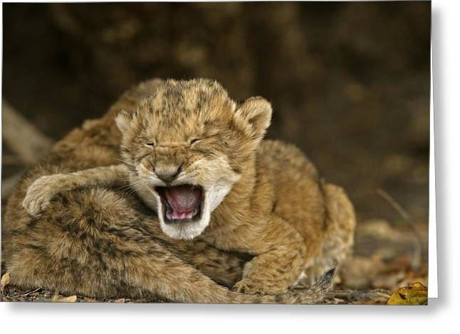 Juvenile Mammals Greeting Cards - Lion Cubs Crying After Their Mother Greeting Card by Michael Nichols