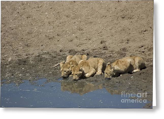 Lioness Greeting Cards - Lion Cubs having a Drink Greeting Card by Darcy Michaelchuk