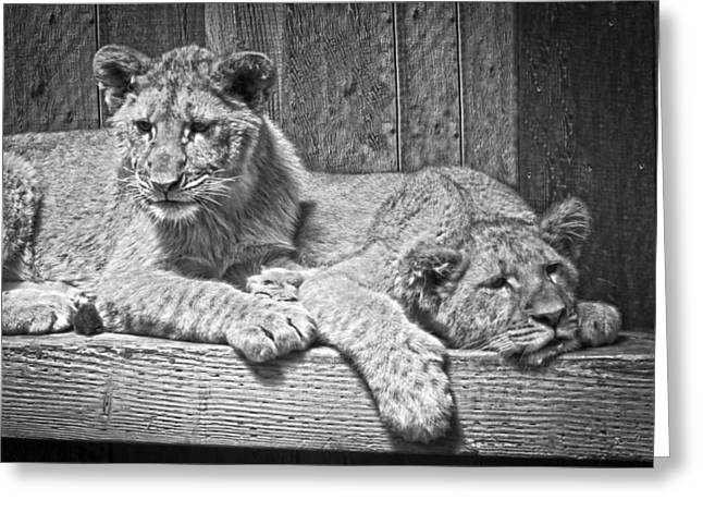 Growling Greeting Cards - Lion Cubs  Greeting Card by Steve McKinzie