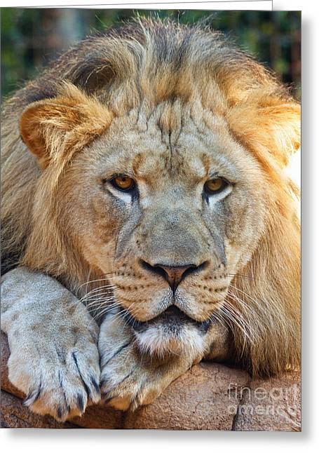 Greenville Zoo Greeting Cards - Lion Greeting Card by Dawna  Moore Photography