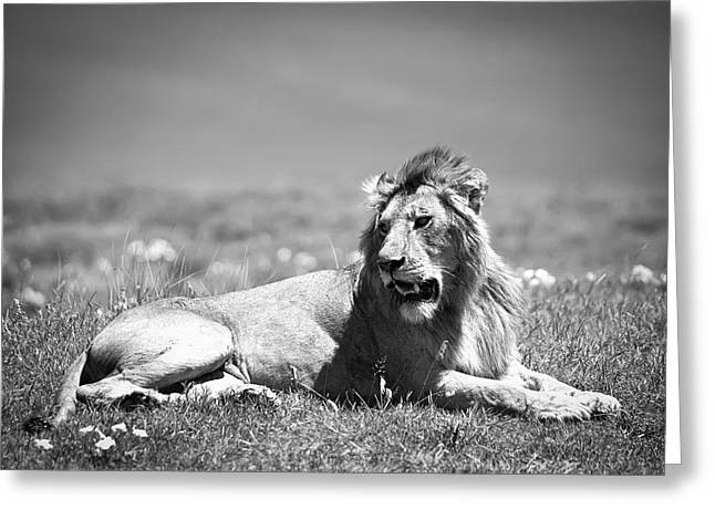 Lion King In Black And White Greeting Card by Sebastian Musial